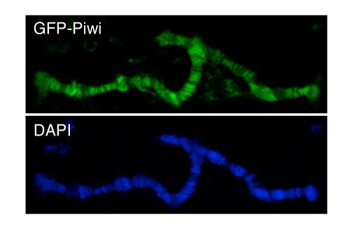 Piwi Associates with Chromatin