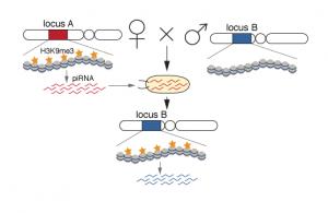 transgen-chromatin-effect-2